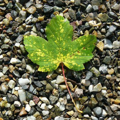 maple-leaf-422582_1280
